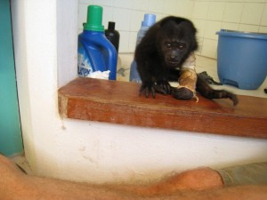 BWRC-Black-Howler-Monkey-4