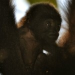 Baby Howler Monkey spotted by BWRC intern Chelsea Canon at CBS.
